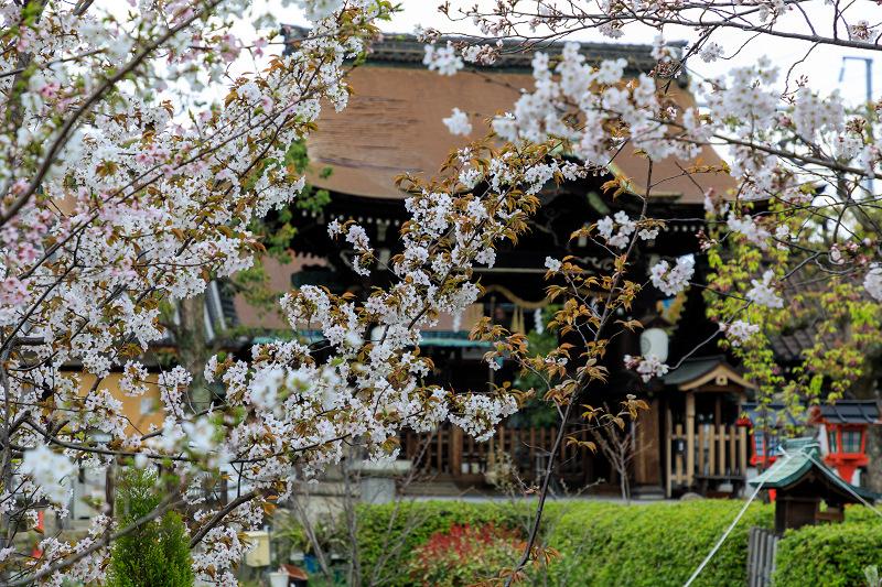 Finale!桜咲く京都2019 六孫王神社の桜たち_f0155048_22524733.jpg