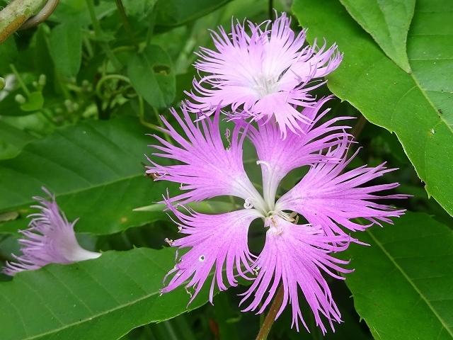 野の花と虫(ホソオビアシブトクチバは初見です)_d0088184_23344949.jpg