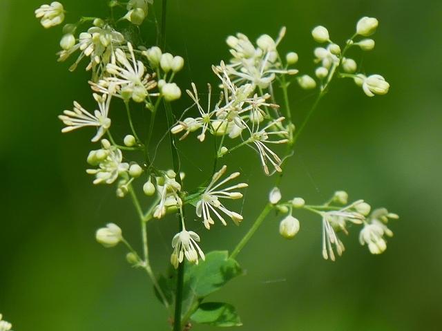 野の花と虫(ホソオビアシブトクチバは初見です)_d0088184_23353809.jpg