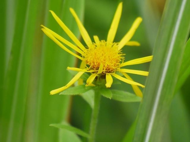 野の花と虫(ホソオビアシブトクチバは初見です)_d0088184_23361148.jpg