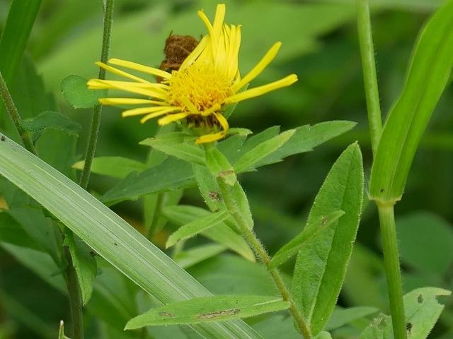 野の花と虫(ホソオビアシブトクチバは初見です)_d0088184_23362374.jpg