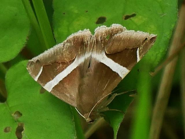 野の花と虫(ホソオビアシブトクチバは初見です)_d0088184_23371163.jpg