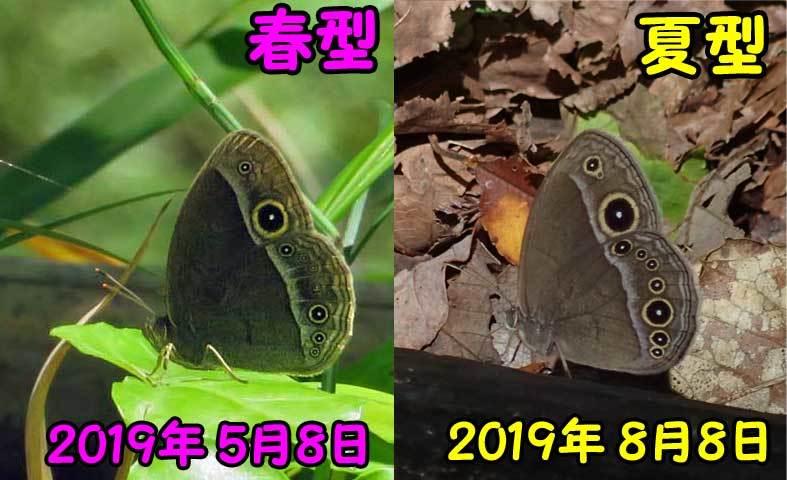 コジャノメ夏型_e0253104_21323454.jpg