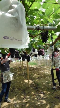 ぶどうの直売は、11日か12日頃から、藤稔から始めます。_d0026905_12591091.jpg