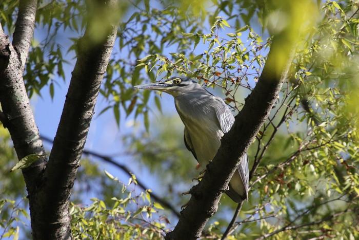 久しぶりにササゴイの探鳥へ_f0239515_16293489.jpg