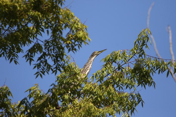 久しぶりにササゴイの探鳥へ_f0239515_16311711.jpg