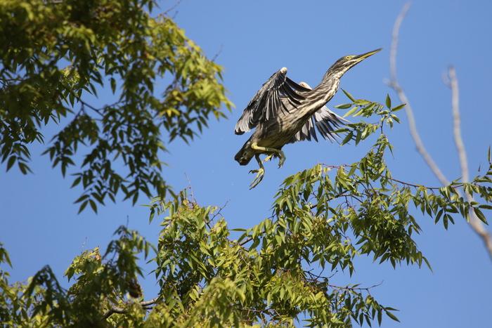久しぶりにササゴイの探鳥へ_f0239515_16313977.jpg
