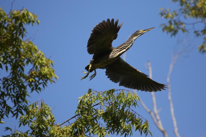 久しぶりにササゴイの探鳥へ_f0239515_16315438.jpg