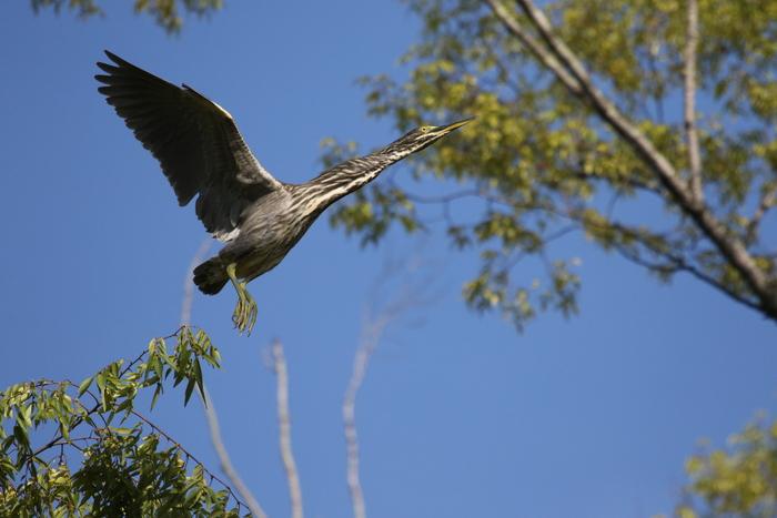 久しぶりにササゴイの探鳥へ_f0239515_16321271.jpg