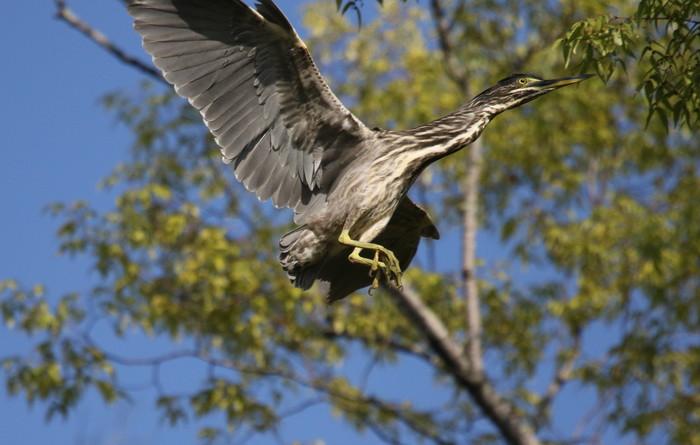 久しぶりにササゴイの探鳥へ_f0239515_16325698.jpg