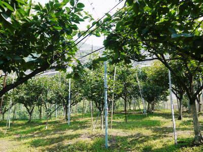 太秋柿 古川果樹園 今年も順調に成長中!摘果作業と枝吊り作業の惜しまぬ手間ひまをかけ育ています!_a0254656_17145211.jpg