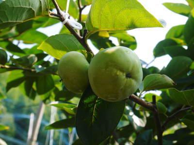 太秋柿 古川果樹園 今年も順調に成長中!摘果作業と枝吊り作業の惜しまぬ手間ひまをかけ育ています!_a0254656_17153934.jpg