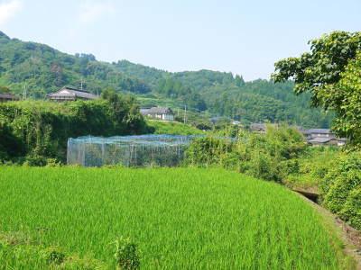 太秋柿 古川果樹園 今年も順調に成長中!摘果作業と枝吊り作業の惜しまぬ手間ひまをかけ育ています!_a0254656_17200823.jpg
