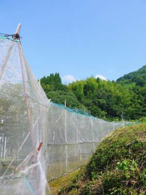 太秋柿 古川果樹園 今年も順調に成長中!摘果作業と枝吊り作業の惜しまぬ手間ひまをかけ育ています!_a0254656_17222979.jpg
