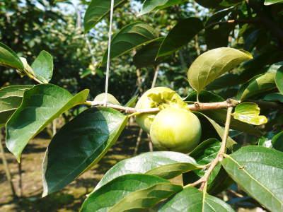 太秋柿 古川果樹園 今年も順調に成長中!摘果作業と枝吊り作業の惜しまぬ手間ひまをかけ育ています!_a0254656_17262326.jpg