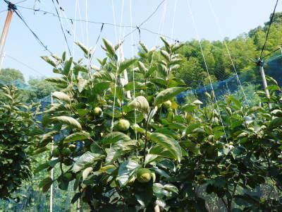 太秋柿 古川果樹園 今年も順調に成長中!摘果作業と枝吊り作業の惜しまぬ手間ひまをかけ育ています!_a0254656_17362142.jpg