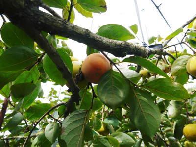 太秋柿 古川果樹園 今年も順調に成長中!摘果作業と枝吊り作業の惜しまぬ手間ひまをかけ育ています!_a0254656_17445545.jpg