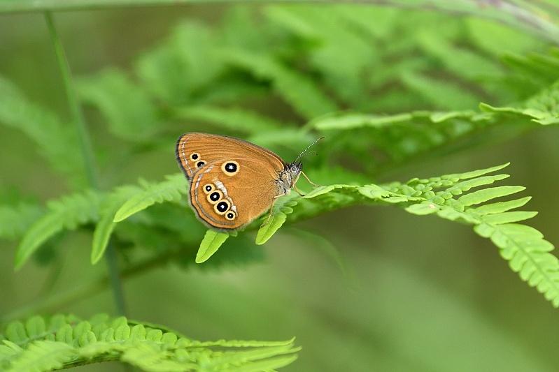 高原の蝶-2(ヒメヒカゲ、アカセセリ: 2019/8/2)_f0031682_06392292.jpg