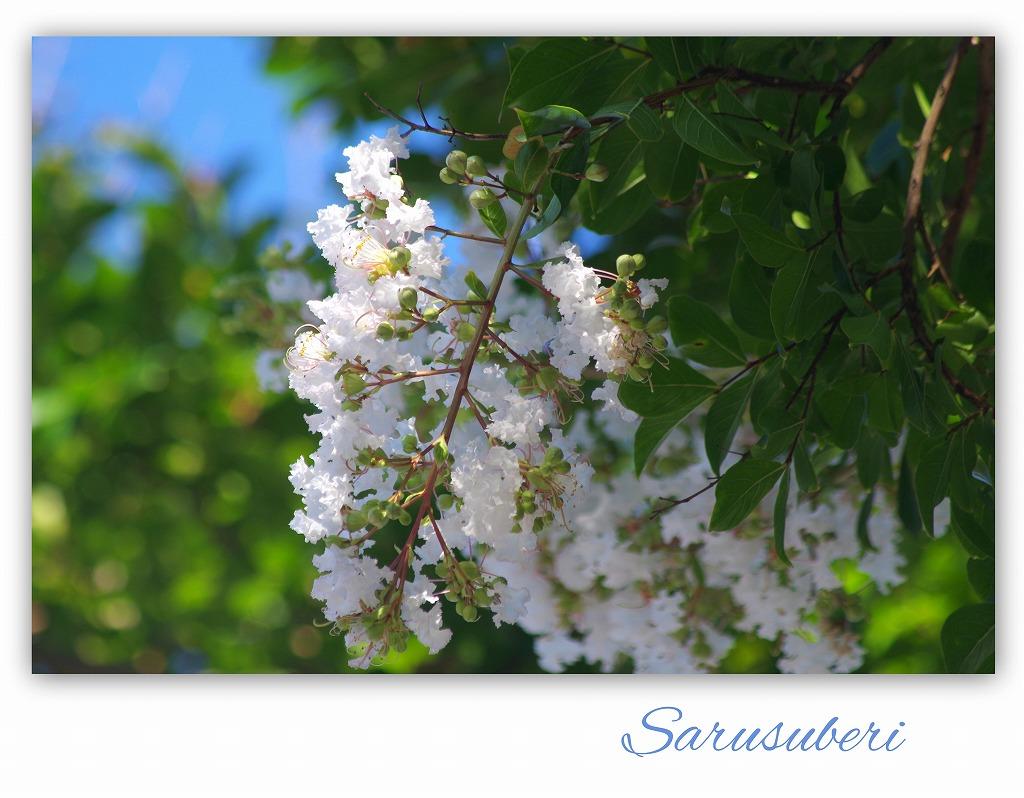 白い花 サルスベリ _d0147812_17581212.jpg