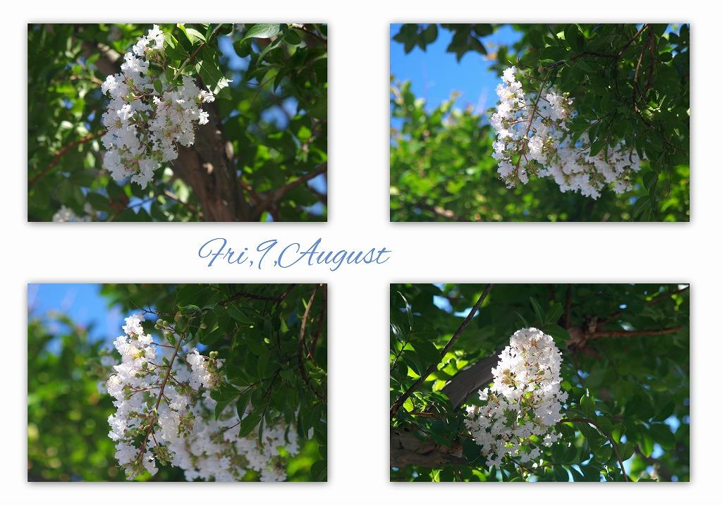 白い花 サルスベリ _d0147812_1758253.jpg