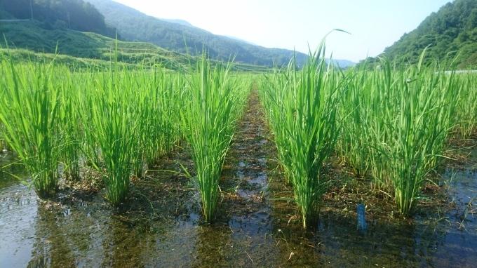 【自然農の田畑】夏の田んぼ_e0015223_04465314.jpg