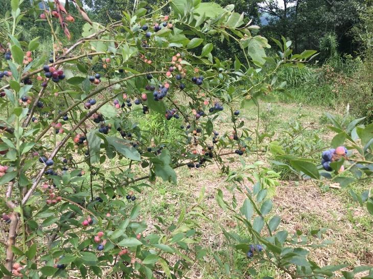 ブルーベリー収穫のお知らせ_a0114743_16161715.jpg