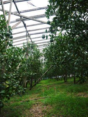 デコポン(肥後ポン) 摘果&玉吊り作業後の成長の様子 樹勢も良く夏芽も芽吹き今年も順調です!_a0254656_17312926.jpg