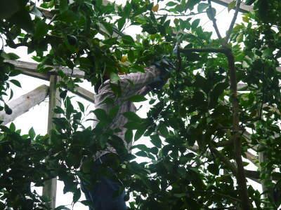 デコポン(肥後ポン) 摘果&玉吊り作業後の成長の様子 樹勢も良く夏芽も芽吹き今年も順調です!_a0254656_17451877.jpg