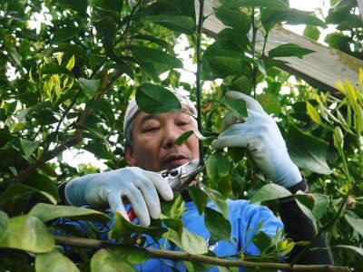 デコポン(肥後ポン) 摘果&玉吊り作業後の成長の様子 樹勢も良く夏芽も芽吹き今年も順調です!_a0254656_17493578.jpg