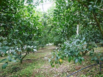 デコポン(肥後ポン) 摘果&玉吊り作業後の成長の様子 樹勢も良く夏芽も芽吹き今年も順調です!_a0254656_17551144.jpg
