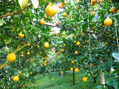 デコポン(肥後ポン) 摘果&玉吊り作業後の成長の様子 樹勢も良く夏芽も芽吹き今年も順調です!_a0254656_18003824.jpg