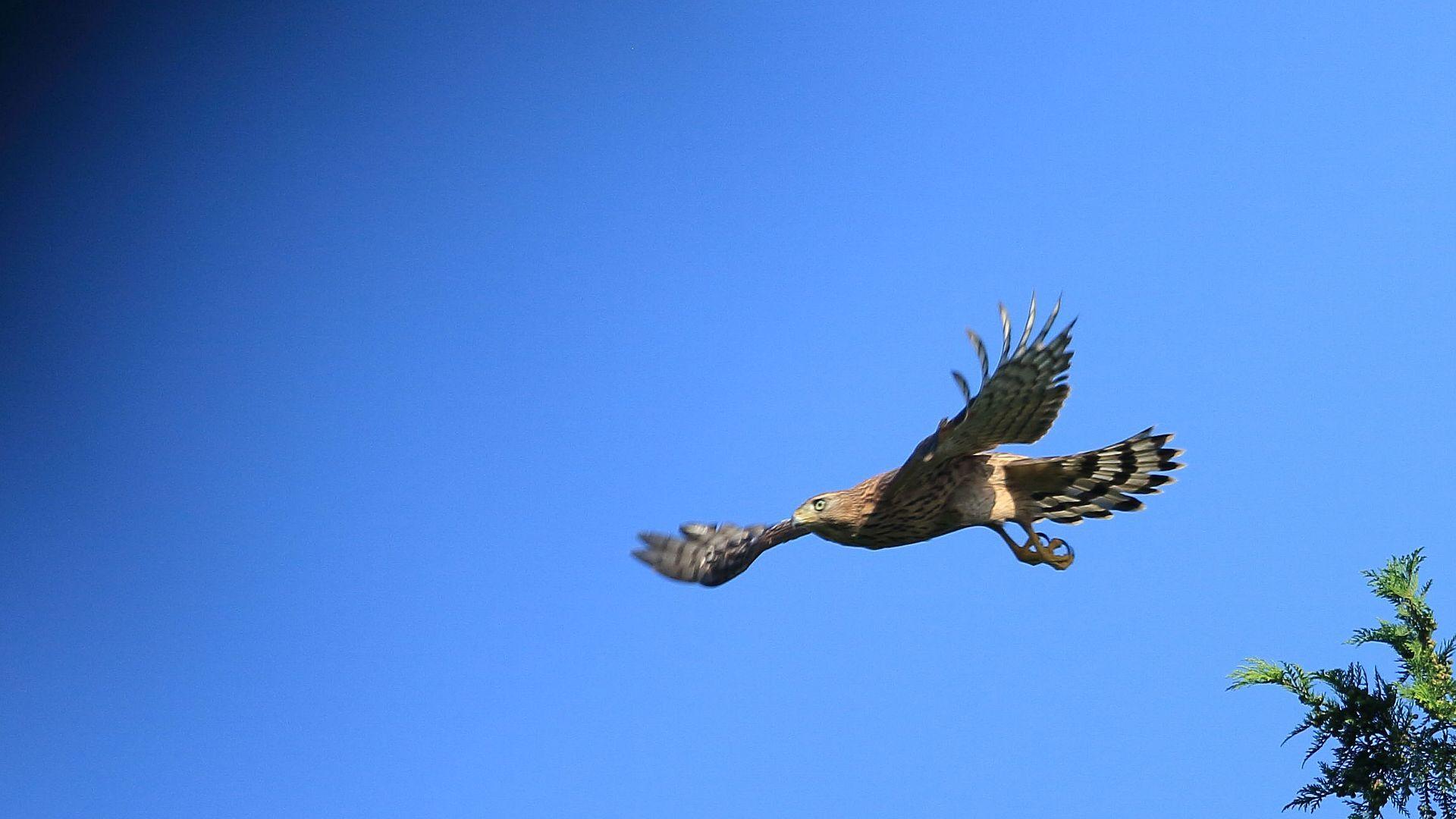 オオタカ幼鳥の飛び出し_f0105570_21352780.jpg