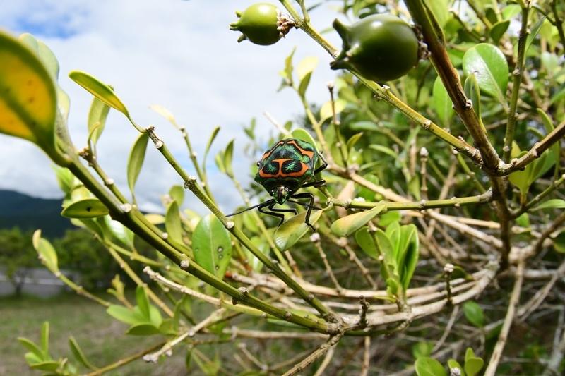 魚眼ズームでニシキキンカメムシを撮る Byヒナ_c0343075_22335181.jpg