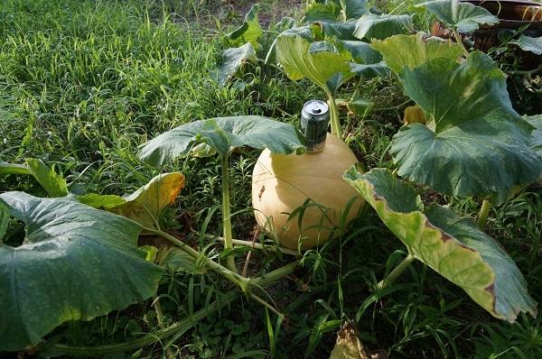 ジャイアントかぼちゃ_e0365880_21195998.jpg