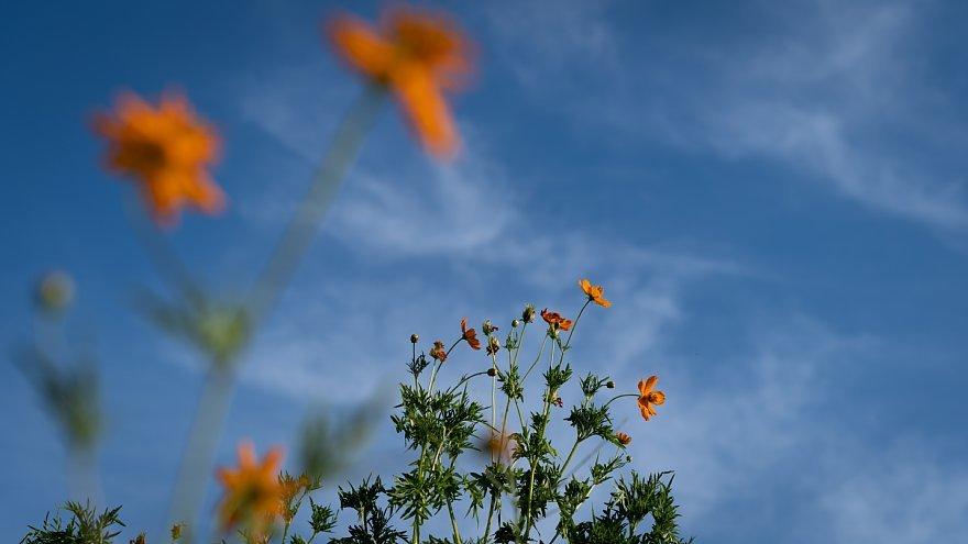 夏の陽射しにうなだれるキバナコスモス_d0353489_10212678.jpg