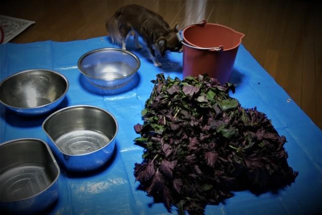 今年も赤紫蘇ジュース作り~♬_f0229190_15323121.jpg