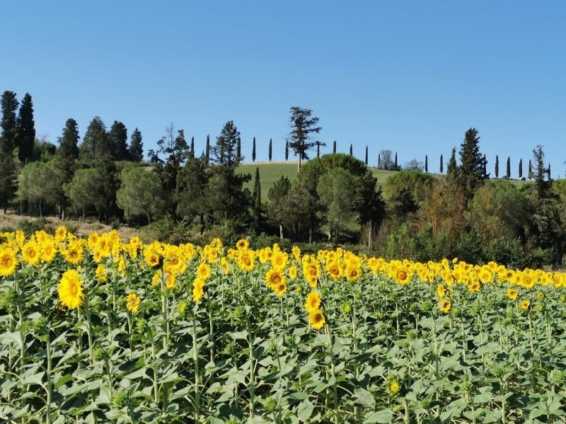 南トスカーナはヒマワリの季節です_f0106597_22300214.jpg
