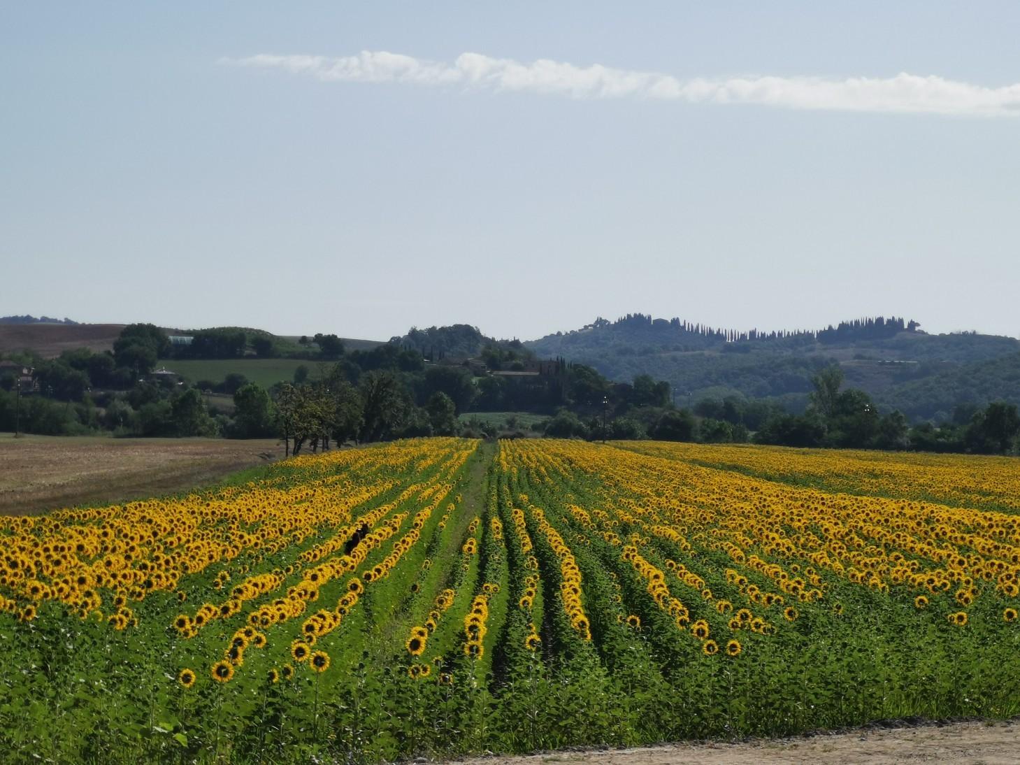 南トスカーナはヒマワリの季節です_f0106597_22301976.jpg