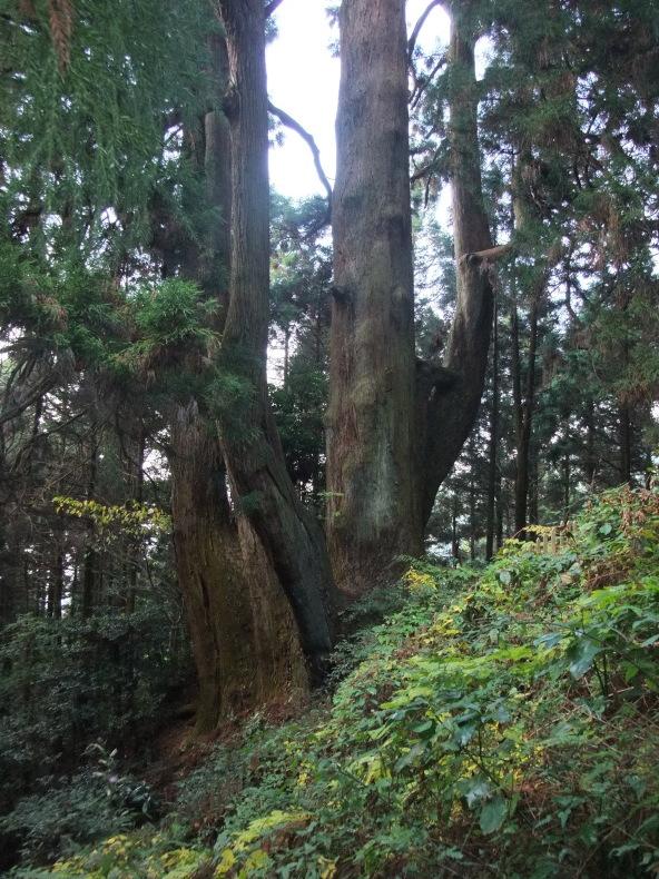 若杉山のアヤスギ群_a0384710_10550521.jpg