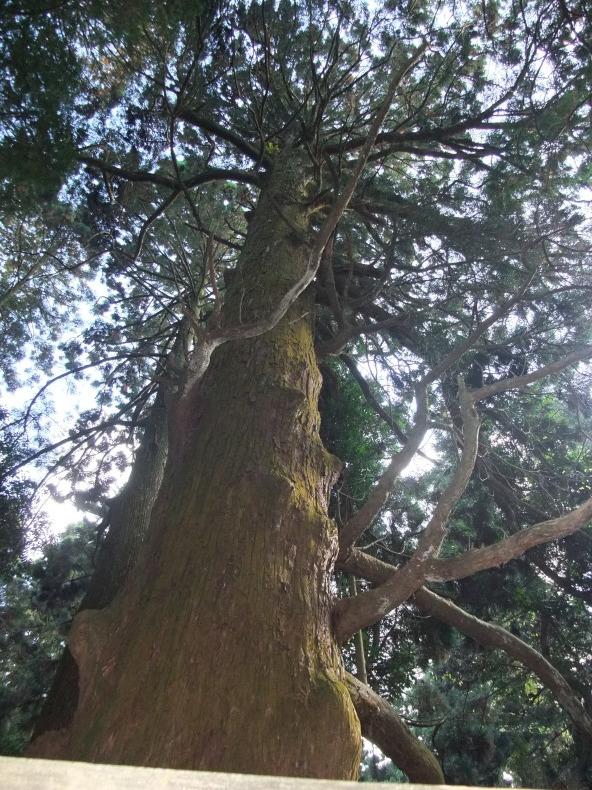 若杉山のアヤスギ群_a0384710_11133090.jpg
