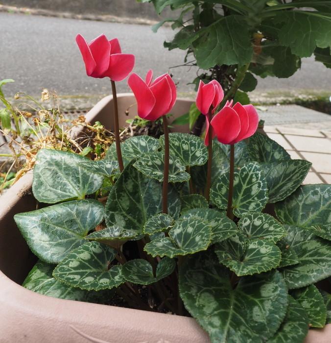 ガーデンシクラメンが咲いた_c0116915_00152403.jpg