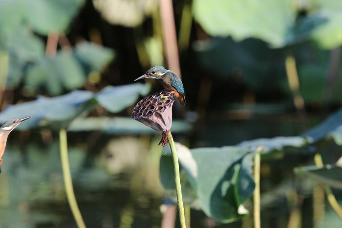蓮池のカワセミ花托で その10_f0239515_1819136.jpg