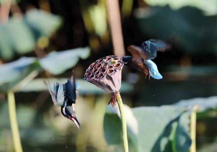 蓮池のカワセミ花托で その10_f0239515_1820168.jpg