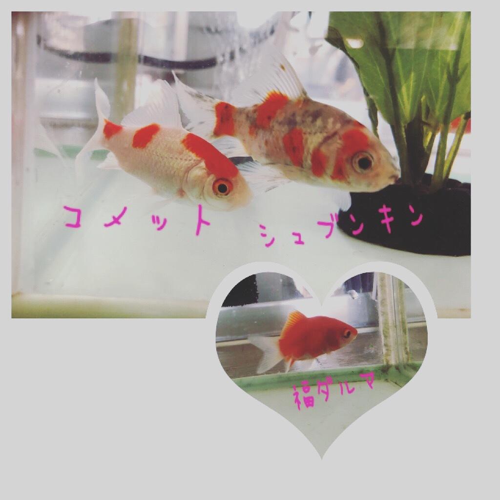 金魚_d0155416_12284440.jpeg