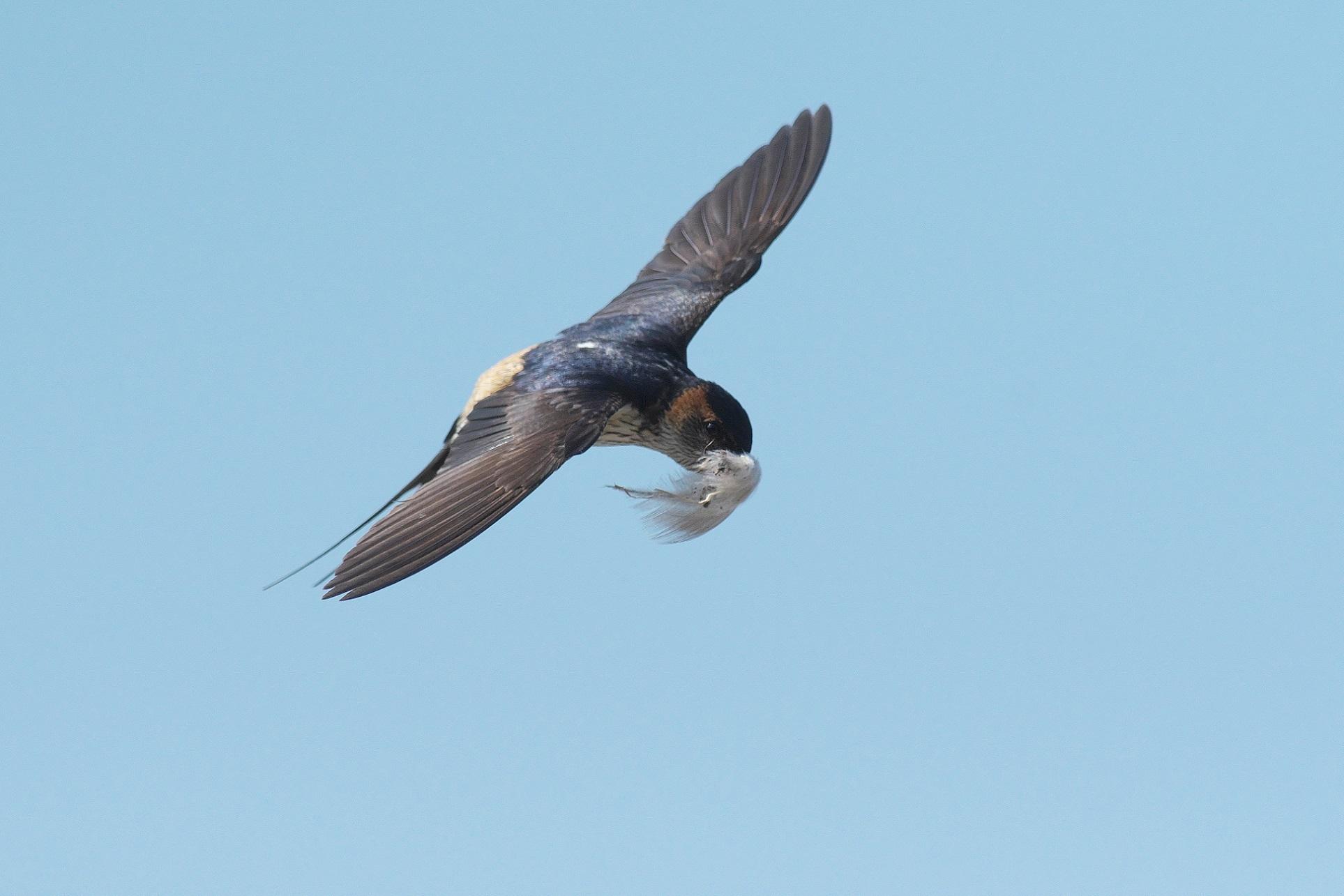 羽を咥えて飛ぶコシアカツバメ_c0383758_15535402.jpg