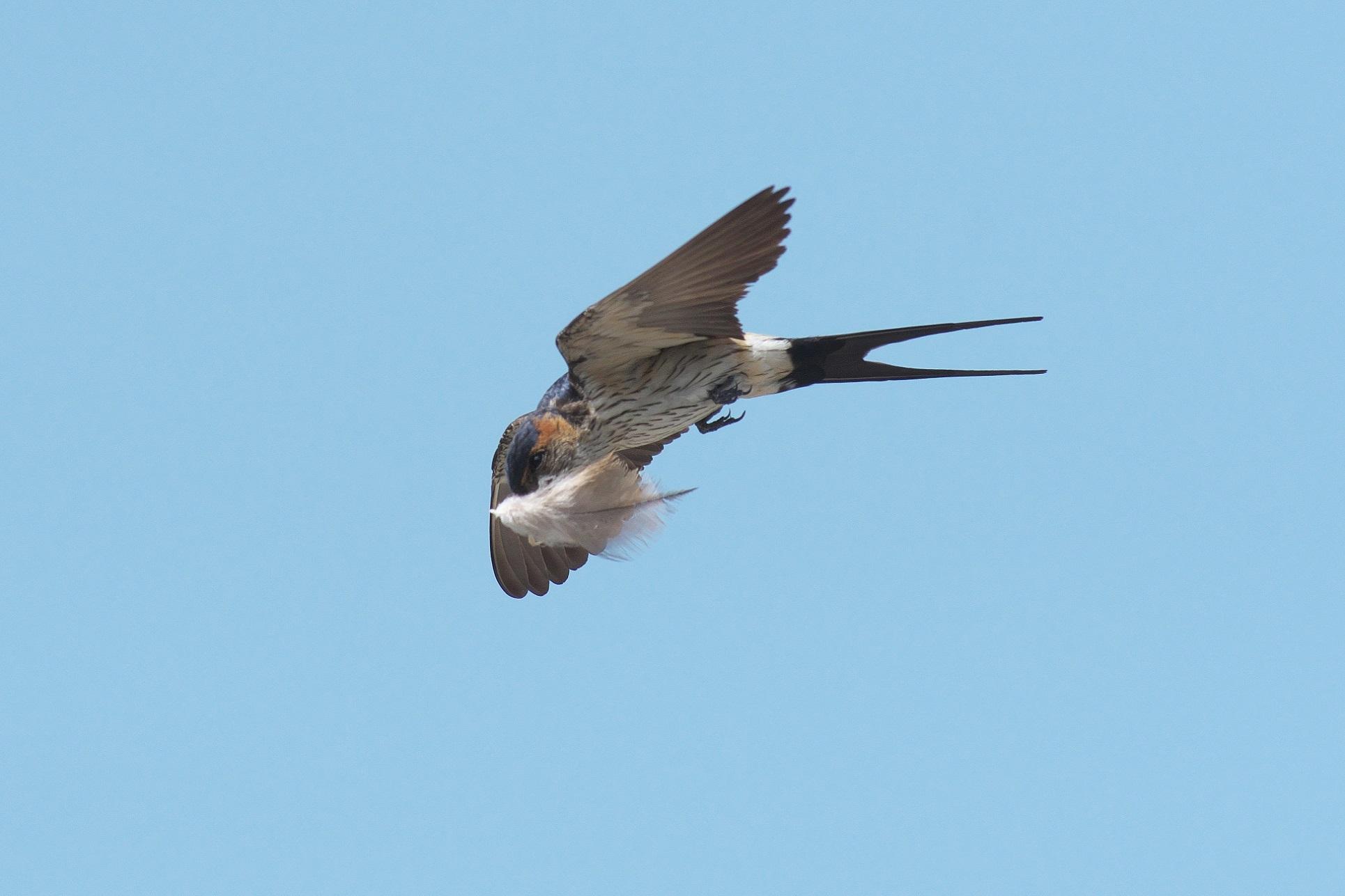 羽を咥えて飛ぶコシアカツバメ_c0383758_15540565.jpg