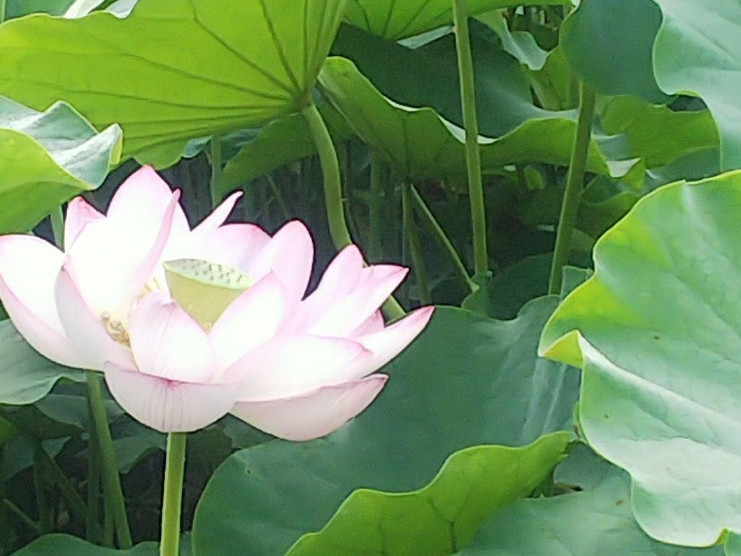 蓮の花を見に行く_e0303187_20365974.jpg