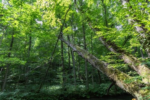 木々の棲息の地としての奥入瀬_a0158797_00243279.jpg