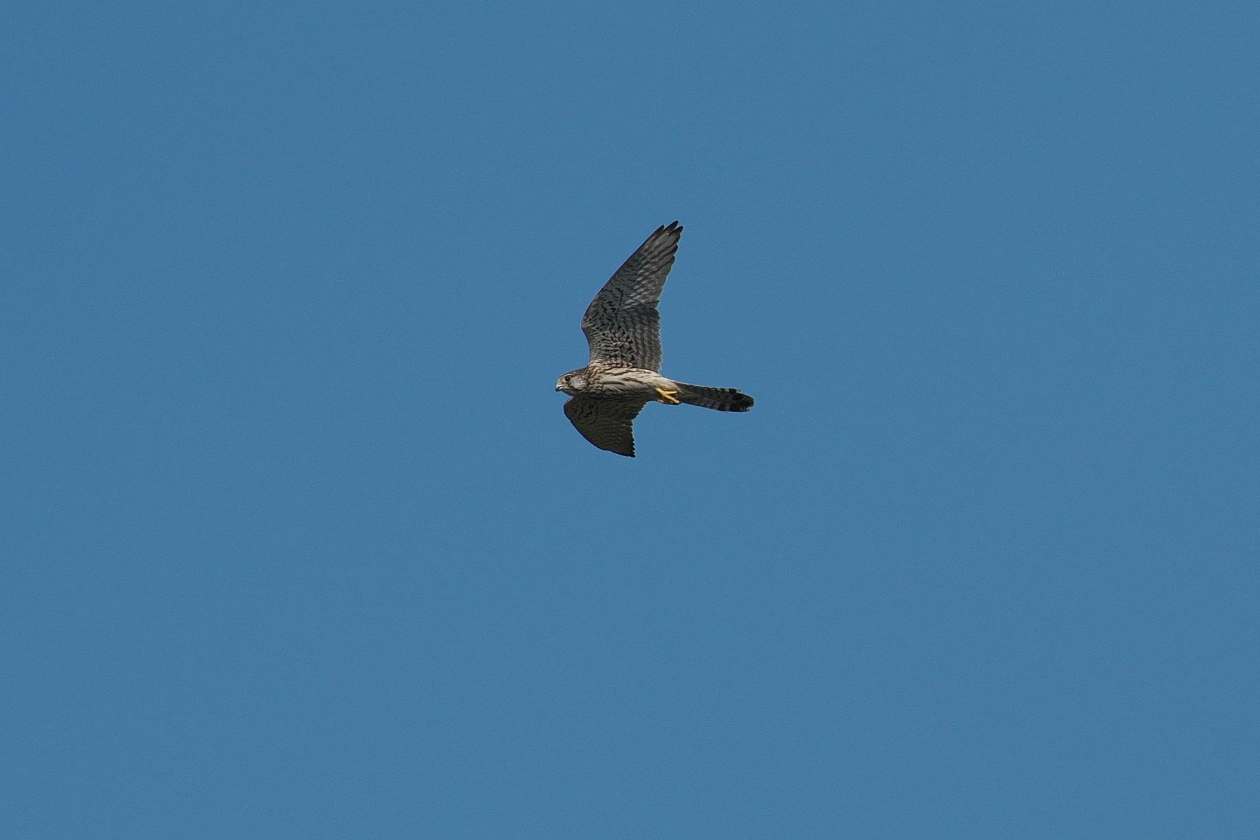 遠くを飛んで行く若いハヤブサ_c0383758_17472899.jpg