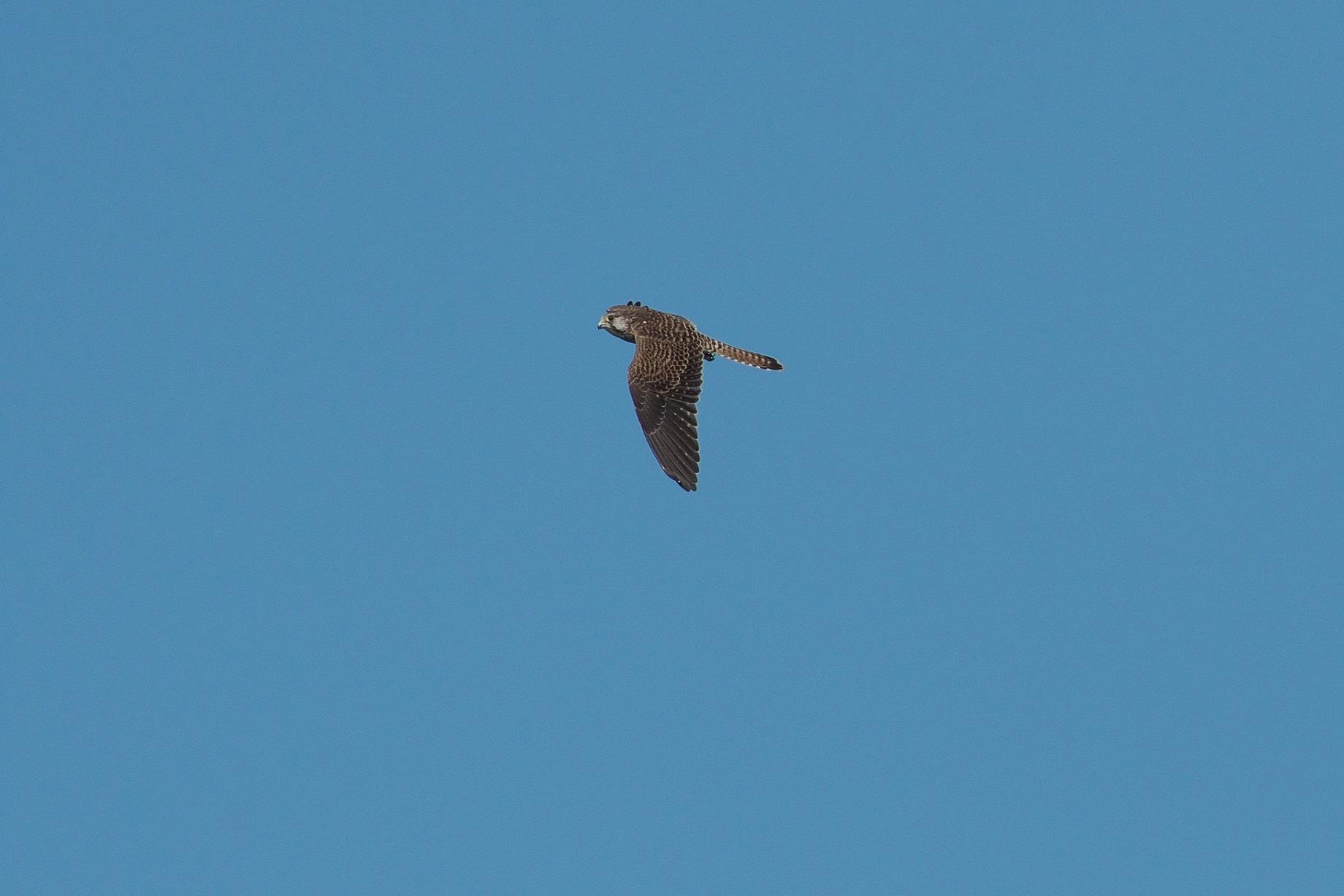 遠くを飛んで行く若いハヤブサ_c0383758_17473736.jpg